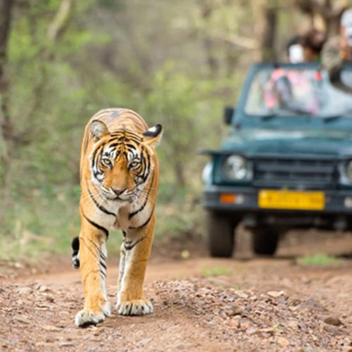 Ranthambore Tiger Safari & Ride Back